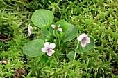 Marsh violet (Viola palustris)