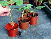 Planting geranium cuttings