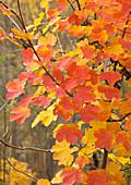 Italian maple (Acer opalus)