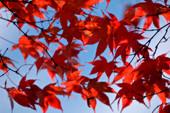 Japanese maple leaves (Acer palmatum)