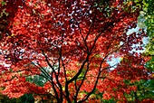 Japanese maple trees in autumn