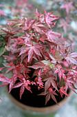 Japanese maple (Acer 'Beni-maiko')