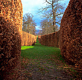 Beech hedges in autumn