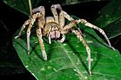 Wandering Spider (Phoneutria nigriventer)