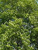 Horse chestnut (Aesculus hippocastanum)