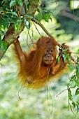 Sumatran orangutan