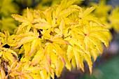 Acer palmatum 'Shishigashira' leaves