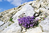 Bellflower (Campanula cochlearifolia)