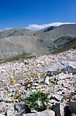 Anthemis montana petraea