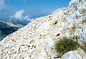 Alpine fescue (Festuca alpina)