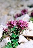 Thyme (Thymus alpigenus)