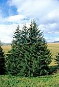European spruce (Picea excelsa) trees