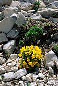 Vitaliana primulaeflora praetutiana