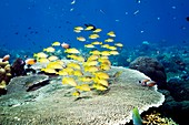 Golden lined snappers over coral