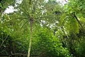 Tree fern,Madagascar