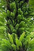 Epiphytic bracken,Madagascar