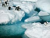 Adelie penguins,Antarctica