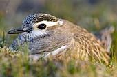 Male dotterel sitting on a nest