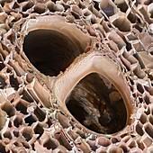 Balsa wood structure,SEM