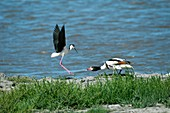 Black-winged stilt threatening a shelduck