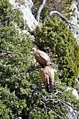 Griffon vultures perching