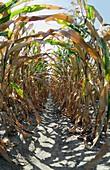 Damaged crops during a heatwave