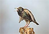 European starling displaying