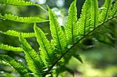 Common bracken (Pteridium aquilinum) leaf