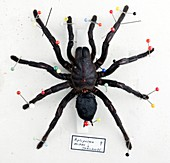 Female Thailand black tarantula