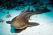 Leopard shark and remora