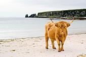 Highland cow on a beach