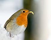 European robin feeding on a mealworm