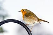 European robin perched on a garden chair