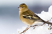 Female chaffinch perched in a tree