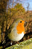 European robin perched on a wooden fence