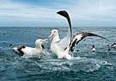 Gibson's wandering albatrosses