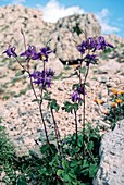 Columbine (Aquilegia viscosa)