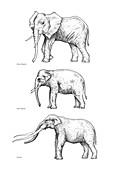 Elephant evolution,artwork