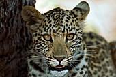 Six month old leopard cub