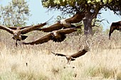 White-backed vultures in flight