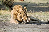 Lion cleaning its paw