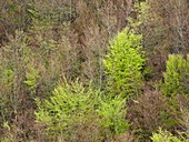 Beech woodland (Fagus sp.)