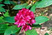 Rhododendron 'Van Weerden'
