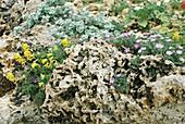 Mixed planting in Tufa Rocks