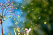 Himalayan balsam seed dispersal