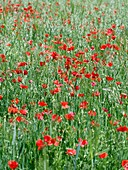 Poppies growing in a field of oats