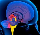 Medulla oblongata in the brain,artwork