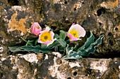 Ranunculus calandrinioides