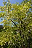 Acacia (Robinia pseudacacia)