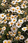 Anthemis carpatica 'Karpaten Schnee'